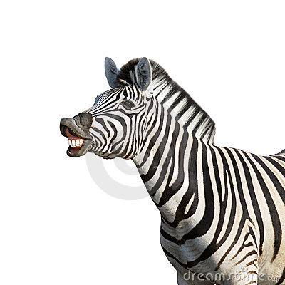 Free Laughing Zebra Royalty Free Stock Photos - 12314088