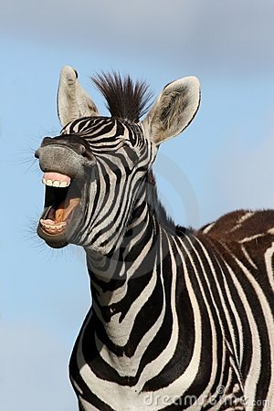 Free Laughing Zebra Royalty Free Stock Images - 12757349