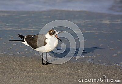 Laughng Gull (Leucophaeus atricilla)