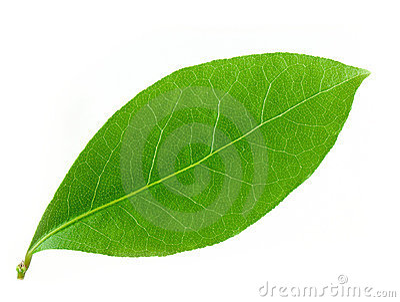 Laurel leaf Vector Illustration