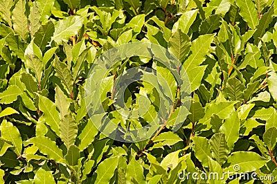 Laurels noble. A bay leaf.