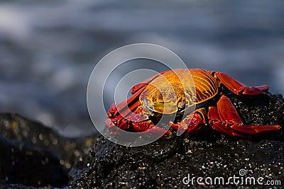 Lava Crab