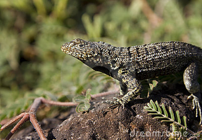 Lava Lizard - Galapagos Islands