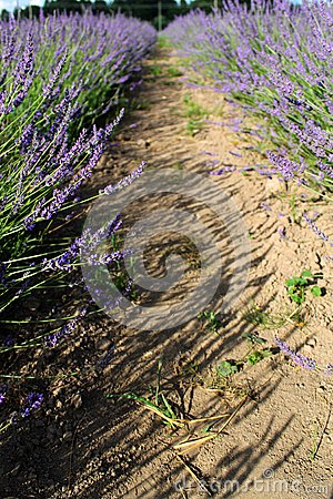 Lavandula field in sunlight