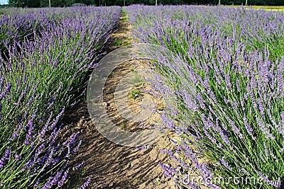 Lavandula fields