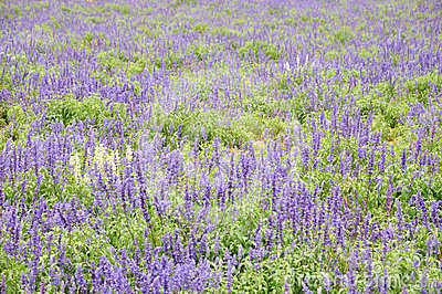 Lavandula flower field