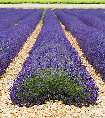 Lavendel