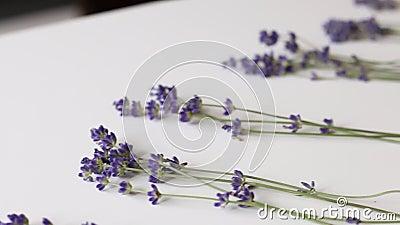 Lavendelblumen werden nach Stammlänge sortiert Frau fügt Blumen zu sortierten stock video