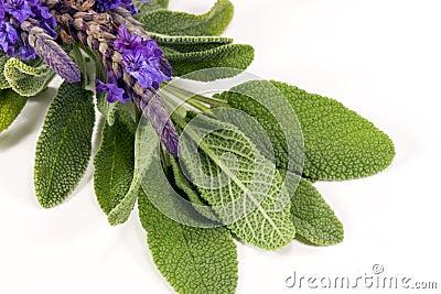 Lavender φασκομηλιά