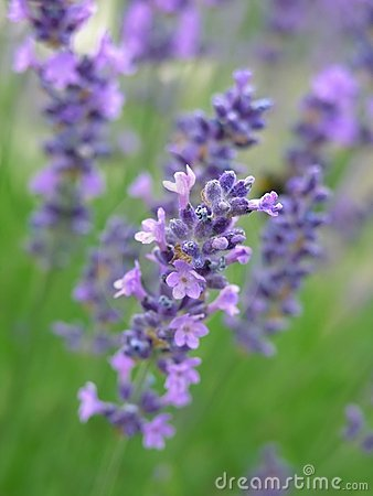 Free Lavender Royalty Free Stock Photos - 196788