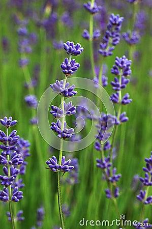 Free Lavender Royalty Free Stock Photo - 2786345