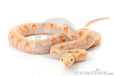 Lavender Albino Reticulated Python