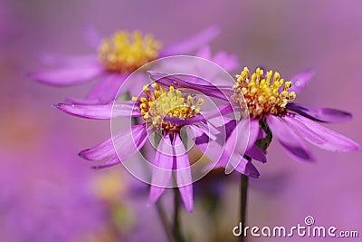 Lavender aster