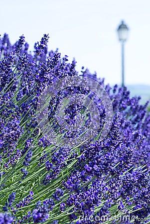 Lavender on blue background