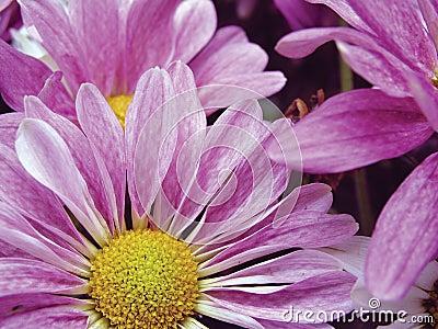 Lavender daisies