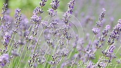 Lavender-fält