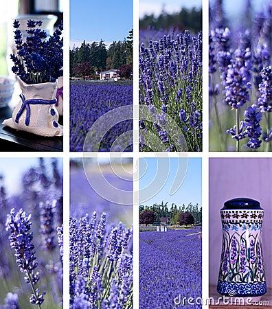 Free Lavender Farm Collage Stock Photo - 23925440