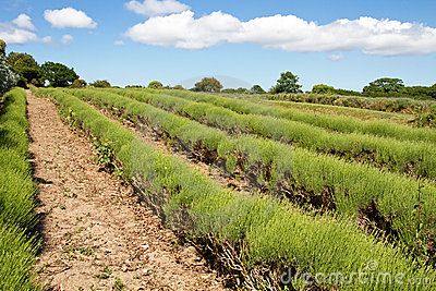 Lavender farming on the channel islands, UK
