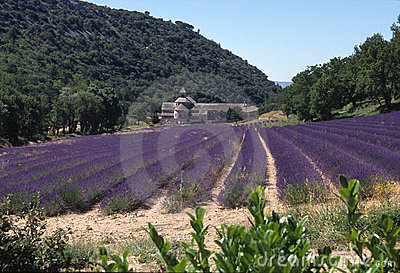 Lavender field church