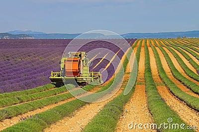 Lavender field harvest