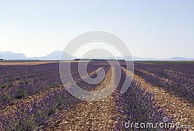 Lavender field horizon