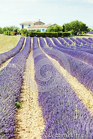 Lavender field, Provence