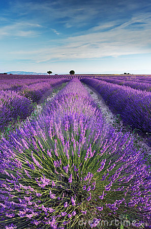 Lavender field in Provence during early morning