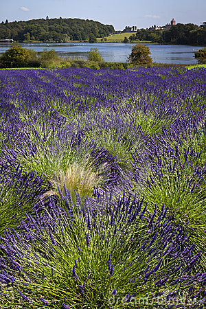 Lavender Field - Yorkshire - United Kingdom