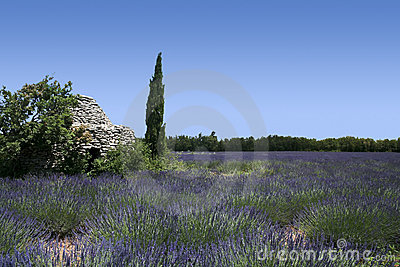 Lavender fields landscape provence france