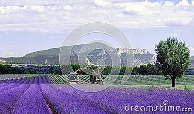 Lavender fields provence franc