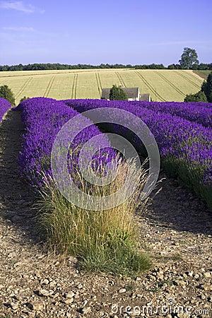 Lavender fields snowshill lavender farm the cotswolds gloucester