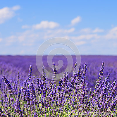 Lavender flower blooming. Provence, France