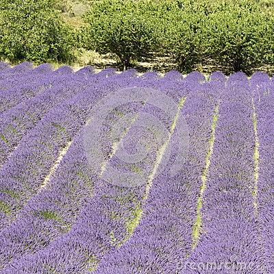 Lavender flower field, with free, Provence.