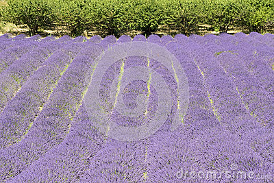 Lavender flower field, with tree, Provence. France