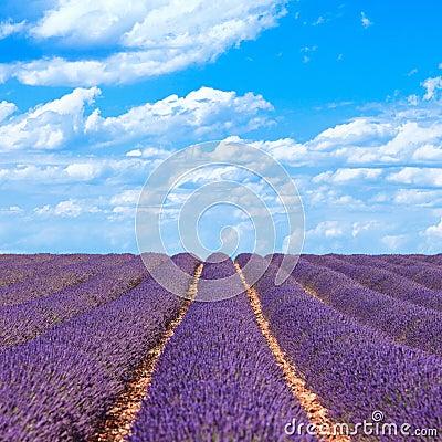 Lavender flower fields horizon. Provence, France