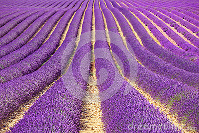 Lavender flower fields pattern. Provence, France