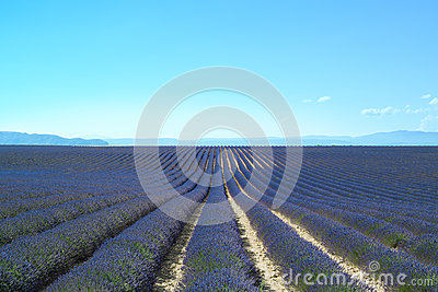 Lavender flower fields rows. Valensole provence