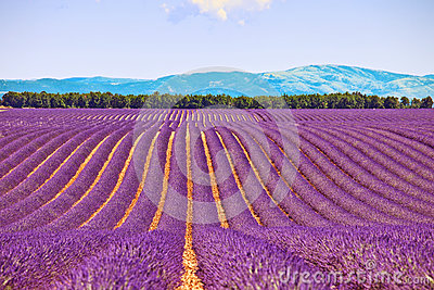 Lavender flower fields trees row. Provence