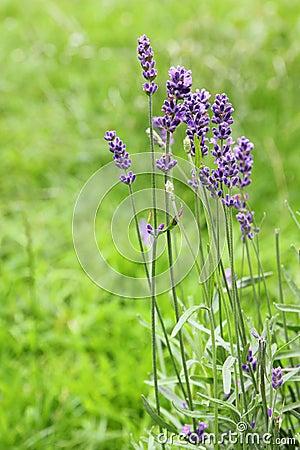Free Lavender Flowers Stock Image - 20170541