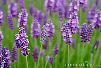 Lavender Flower Picture on Lavender Flowers Royalty Free Stock Photos   Image  5181138