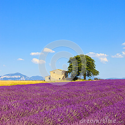 Lavender flowers field, house and tree. Provence