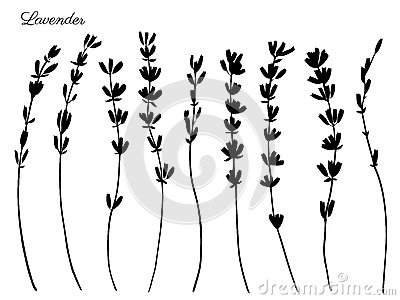 Lavender flowers hand drawn doodle vector black silhouette isolated on white, herbal vintage graphic collection, design Vector Illustration