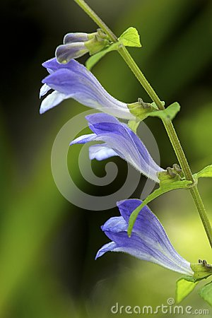 Free Lavender Flowers Of Marsh Skullcap In Sunapee, New Hampshire. Stock Photography - 102662022