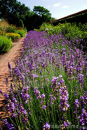 Free Lavender Garden Flower Bed Stock Images - 11209064