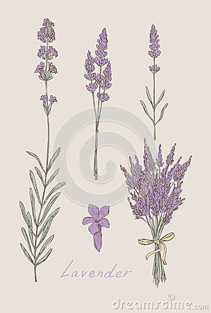 Free Lavender Hand Drawn Set Royalty Free Stock Photo - 28102115