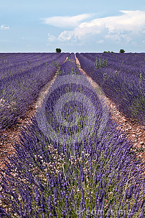 Lavender horizon