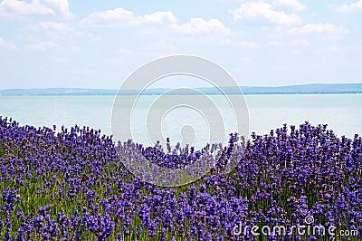 Lavender at Lake Balaton,Hungary