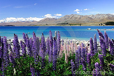 Lavender by lake Tekapo (5)