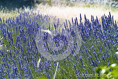 The lavender (Lavandula) field texture