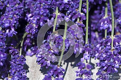 Lavender macro shot